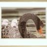 rina-luijks-zwarte-zwaan
